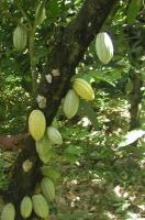 Low cocoa production led to cocoa crisis