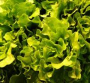 Green leafy vegetable lettuce