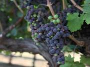 Veraison Time Lapse Video: Watch Cabernet Sauvignon Grapes Change Color from Green to Red
