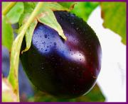 Eggplants are like potatoes in Persian Foods