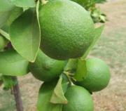 Lime ready to be picked
