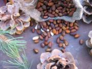 Pine Nuts Health Benefits make these nutty seeds a healthy snack and ingredient in your dishes.