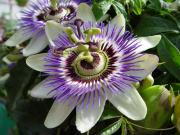 The passion flower is laced with compounds that alleviate the stress and uplifts our mood.