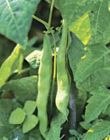 tips for growing runner beans