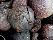 natural remedies _ parasites _ black _ walnut