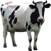 Cow milk is full of benefits