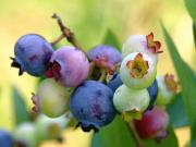 Blueberry Research at the Plants for Human Health Institute