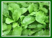 Ceylon leaf benefits revealed!