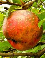 Tips to identify rotten apple