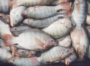cleaning tilapia fish is fairly simple