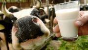 You can drink Raw Milk Safely