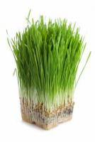 wheat grass is very beneficial
