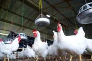Organic chicken in demand