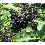 Health benefits of elderberry - The fruit full of the medicinal punch