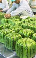 Just What You Always Needed … A Square Watermelon!