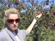 Organic Apples at Avalon Orchards