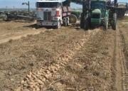 Harvesting Idaho Potatoes