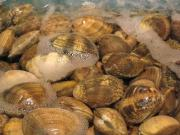 Littleneck Clam
