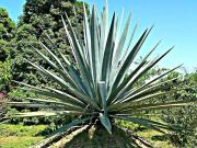 The Agave Test