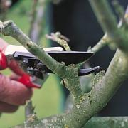 Pruning fruit trees keeps the trees in shape, prevents fruit loss and enhancing fruit production