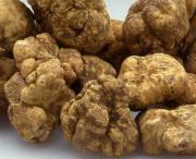 Wonderful freshly plucked White Truffles