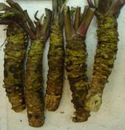Fresh Wasabi roots look like nubby green carrots, they best stored in fridge