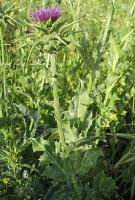 Milk Thistle has numerous medicinal uses