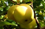 golden apple fruit