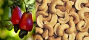 Uses of cashew