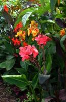 cannas are very easy to grow