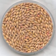 Barley during pregnancy