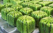 These square watermelons are a delight to store.