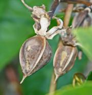 Drying Moonflower seed pods is very easy, just leave them on the plants and allow them to dry naturally!