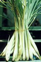 LEMON GRASS helps you invigorate your senses