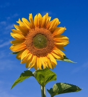 Sunflower For Skin Care