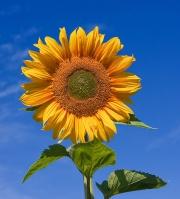 Sunflower For Skin Care