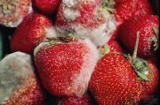 Prevent mold on strawberries by picking out fresh bruise free strawberries.
