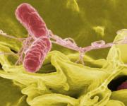 Nearly 1,400,000 cases of salmonella are reported in US every year.