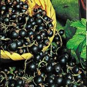 Black Currant Health Benefits
