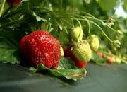 Loudon County Grows Strawberries