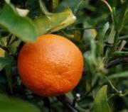 A juicy tangerine