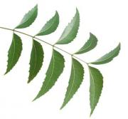 Neem offers myriad of health benefits compared to any other herb found in the Indian subcontinent.