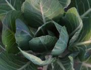 How to clean collard greens thoroughly