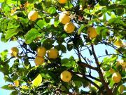 Disease Causing Microorganisms in Lemon Wedges