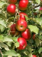 how to plant apple seeds