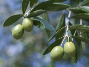 Olive leaf extracts can fight against flu.