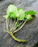 The pungent Wasabi paste is made from the green colored roots of the wasabi plant