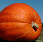 An 1800 Pound Pumpkin May Be The World's Biggest - Breaking a record