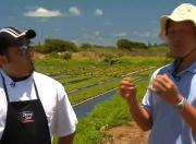 Sea Asparagus Agriculture