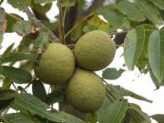 Tips on how to hull black walnuts